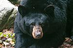 American black bear medium shot looking at camera.