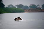 South American or Brazilian Tapir (Tapirus terrestris) swimming across the Piquiri River, northern Pantanal, Brazil.
