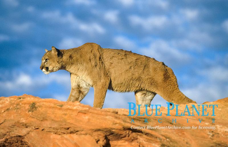 Puma (Puma concolor), adult walking on rock, Utah, USA, America, North America