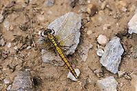 Großer Blaupfeil, Weibchen, Schwarzspitzen-Blaupfeil, Orthetrum cancellatum, black-tailed skimmer