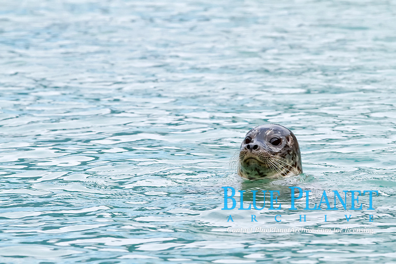 harbor seal, Phoca vitulina, at Johns Hopkins Glacier in Glacier Bay National Park, Alaska, USA, Pacific Ocean