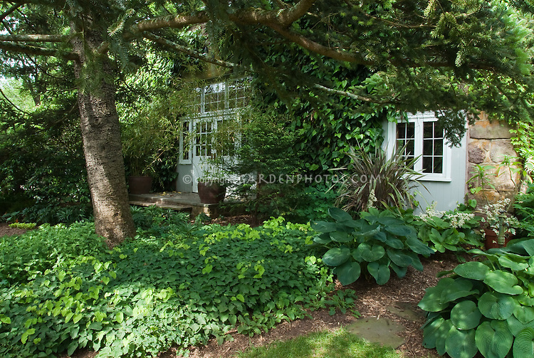 Shade landscaping with blue hosta, Epimedium x perralchicum Frohnleiten, Phormium, Hedera colchica vine on house with window visible, groundcovers