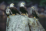 Adult and immature bald eagles  perch on a rock, Tongass National Forest, Alaska, USA