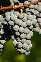 Petit Verdot grape bunches - Château Pey la Tour, previously Clos de la Tour or de Latour, Bordeaux, France