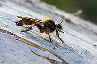 Gelbe Raubfliege, Gelbe Mordfliege, Laphria flava, bumblebee robberfly, yellow robberfly, yellow assassin fly, Bee like Robber-fly, Bee-like Robber-fly, Bee like Robberfly, Raubfliegen, Asilidae, robberfly, robberflies, robber-fly, robber-flies
