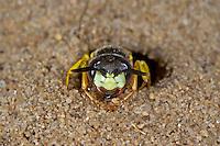 Bienenwolf, Philanthus triangulum, Philanthus apivorus, European beewolf, bee-eating philanthus, le philanthe apivore