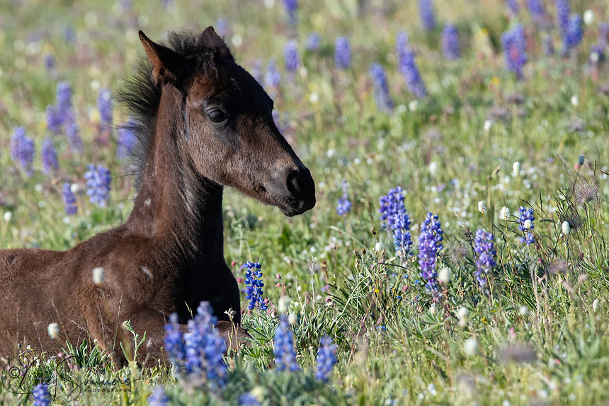 Ultra Blue, up from his nap, nestled among the lupine.