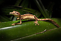 Lined Leaf-tailed Gecko {Uroplatus lineatus} hunting invertebrates amongst leaves of Pandanus Palm {Pandanaceae} at night. Masoala Peninsula National Park, north east Madagascar.