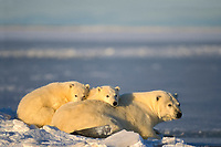 polar bear, Ursus maritimus, mother with cubs resting along the Arctic coast, 1002 coastal plain of the Arctic National Wildlife Refuge, Alaska, polar bear, Ursus maritimus