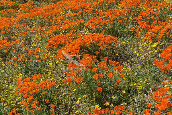 Wild California Poppies (Eschscholzia californica), goldfields (yellow wildflowers) and Lacy Phacelia (Phacelia tanacetifolia) cover hillside.  California.  Spring.  Photo taken near the Antelope Valley California Poppy Reserve.