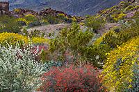 Nature's Garden - Shrub border Bushmint (Condea emoryi), Chuparosa (Beloperone californica), Brittlebush (Encelia farinosa) and Creosote Bush (Larrea tridentata) in Sonoran Desert at Anza Borrego California State Park spring wildflower superbloom