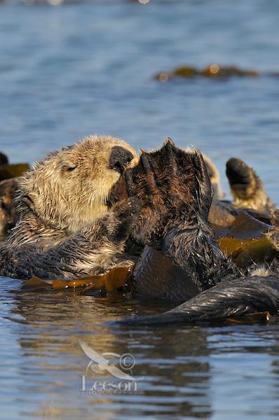 Sea Otter (Enhydra lutris) grooming while resting in kelp.