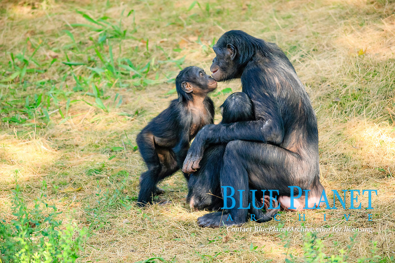 Bonobo (Pan paniscus), native to Africa, female and young, social behaviour, captive, Apeldoorn, Gelderland, The Netherlands, Europe