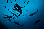 Grey reef sharks (Carcharhinus amblyrhynchos) in the Coral Sea