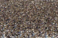 Large flock of Dunlin (Calidris alpina) in winter (basic) plumage roosting on a shallow pond. Skagit County, Washington. December.