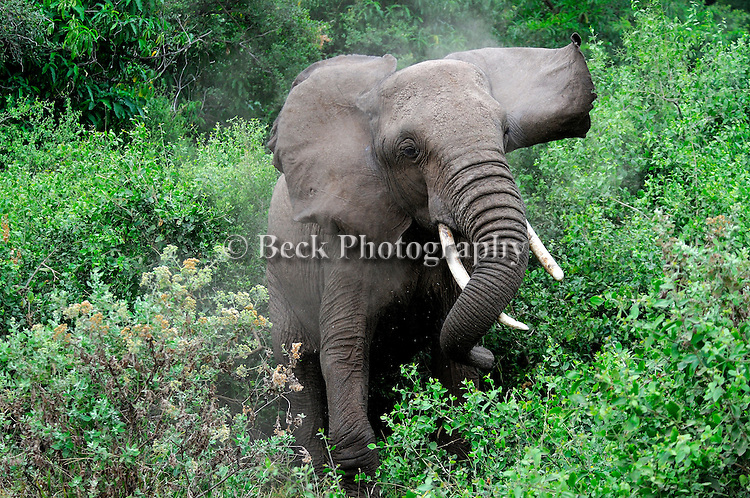 An African elephant stirs up dust charging in East Africa.