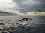 Dolphins leaping at Kaikoura in the  Marlborough Region of New Zealand.