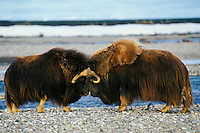 Muskoxen bulls butting heads. (Ovibos moschatus). .Dominance posturing among males.  Arctic Alaska.  July.