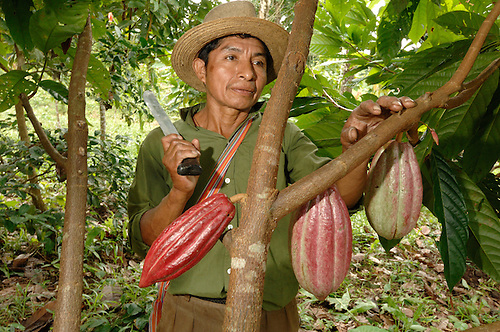 A Mayan cacao farmer, tending to his tree in a rainforest in southern Belize. The tree, planted five years ago, produced it's first saleable caco in 2007. Southern Belize is the heartland of traditional Mayan cacao production. Local farmers sell their organic, rainforest-grown cacao at premium prices to Cadburys. Cacao is one of the few cash crops in the poor region. Belize cacao becomes the main ingredient in Cadbury's premium chocolate bar, Mayan Gold.