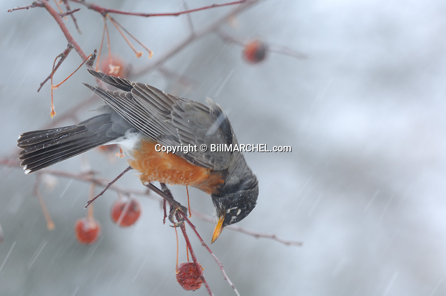 00980-020.04 American Robin is feeding on crab apple during snow storm.   Cold, hunger, food, landscape, fruit.