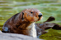 northern sea otter, Enhydra lutris kenyoni, aka Alaska sea otter, Oregon, USA (c)