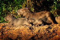 Capybara family snoozes in the golden sunlight of early evening on a river bank in the Pantanal, Brazil.