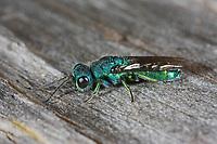 Blaue Goldwespe, Blaugrüne Goldwespe, Blaugoldwespe, Trichrysis cyanea, Chrysis cyanea, Goldwespen, Chrysididae, cuckoo wasp, cuckoo wasps