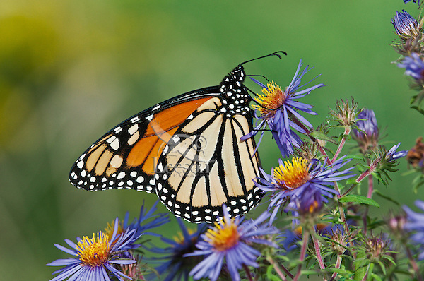 Monarch butterfly (Danaus plexippus) on shoreline of Lake Erie, Ontario, Canada sips nectar from September aster preparing for annual migration south to  Mexico.