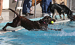 Lady plays during the second annual Pooch Plunge at the Carson City Aquatic Center in Carson City, Nev., on Saturday, Sept. 18, 2010..Photo by Cathleen Allison