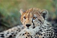 615004039 a wild juvenile cheetah cub acinonyx jubatus rests in the shade of a tree in the masai mara of kenya