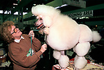 Standard White Poodle being combed getting ready to be shown Crufts Dog Show with female per owner 1991 1990s UK<br /> <br /> MRS SEARL WITH' PEPPERDEANE CREAM AVENGER' STANDARD POODLE.,
