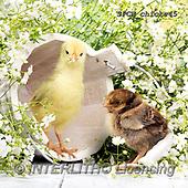 Xavier, EASTER, OSTERN, PASCUA, photos+++++,SPCHCHICKS45,#e#, EVERYDAY ,chicken