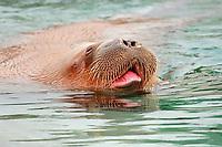 Pacific walrus, Odobenus rosmarus divergens, (c)