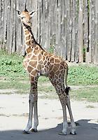 Il cucciolo di giraffa nato lo scorso 28 settembre, al Bioparco di Roma, 9 ottobre 2009..A male baby giraffe born on 28 september stands on at Rome's Bioparco, 9 october 2009..UPDATE IMAGES PRESS/Riccardo De Luca