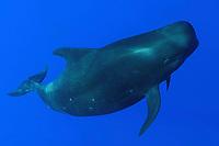 short-finned pilot whale, Globicephala macrorhynchus, Big Island, Hawaii, Pacific Ocean