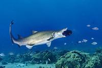 sand tiger shark, Carcharias taurus, attacking on a large wrasse, Chichi-jima, Bonin Islands, Ogasawara, Tokyo, Japan, Pacific Ocean