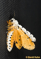 0510-1012  Moth on Window Screen Displaying Bold Orange Warning Colors (Toxic Warning), Salt Marsh Moth - Hodges#8131, Estigmene acrea  © David Kuhn/Dwight Kuhn Photography
