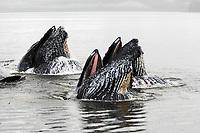 humpback whale, Megaptera novaeangliae, bubble net feeding, Hobart Bay, Alaska, USA, Pacific Ocean