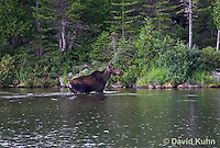 0622-1007  Eastern Moose Cow, Alces alces americana  © David Kuhn/Dwight Kuhn Photography