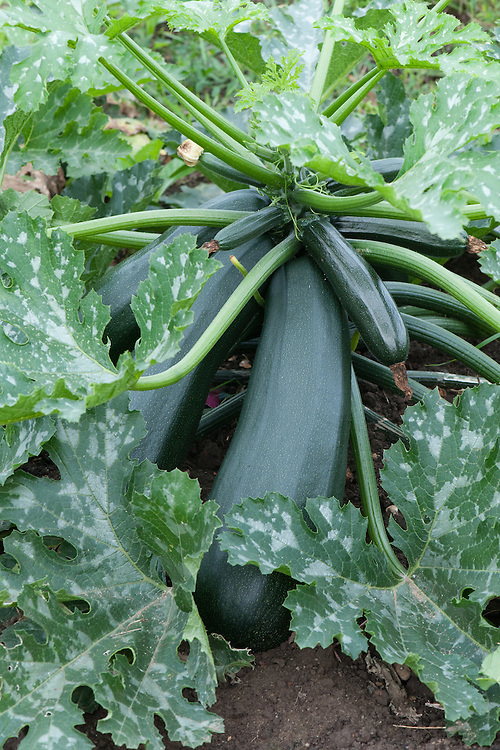 Overgrown courgette, early August.