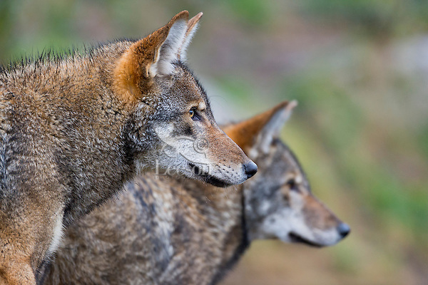 Red Wolf (Canis lupus rufus).  Highly Endangered Species.  Found primarily in the Southeastern United States.  This photo taken at one of several captive breeding facilities for Red Wolves.