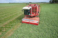 Harvesting peas with FMC viners - Lincolnshire, July