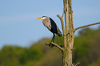 Adult Great Blue Heron (Ardea herodias) pershed in rookery. Tompkins County, New York. May.