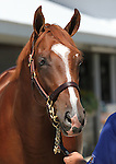 Hip #111 A.P. Indy - Lady Lochinvar colt at the  Keeneland September Yearling Sale.  September 9, 2012.