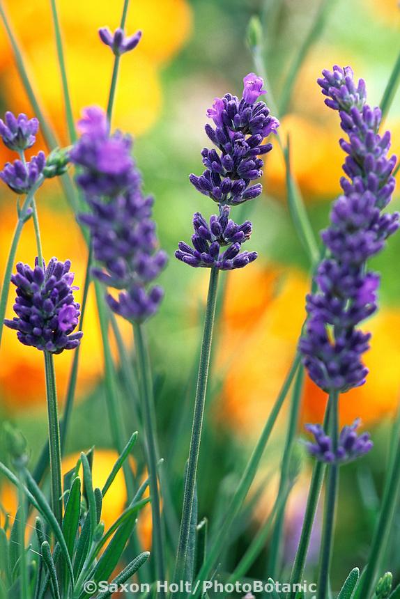 Lavender, Lavandula angustifolia 'Hidcote' flowering with orange poppies in drought tolerant garden
