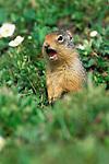 Columbia Ground Squirre (Spermophilus columbianus)l, Banff NP, Alberta, Canada