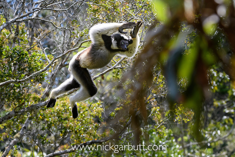 Male Indri (Indri indri) leaping through the rain forest canopy. Andasibe-Mantadia National Park, eastern Madagascar. Endangered.