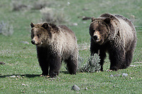 Grizzly Bear mom with cub in Yellowstone