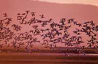Snow geese flying in late evening, early spring-late winter migration.  Lower Klamath National Wildlife Refuge, California-Oregon.