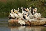 White Pelicans, American White Pelican, Sepulveda Wildlife Refuge, Southern California